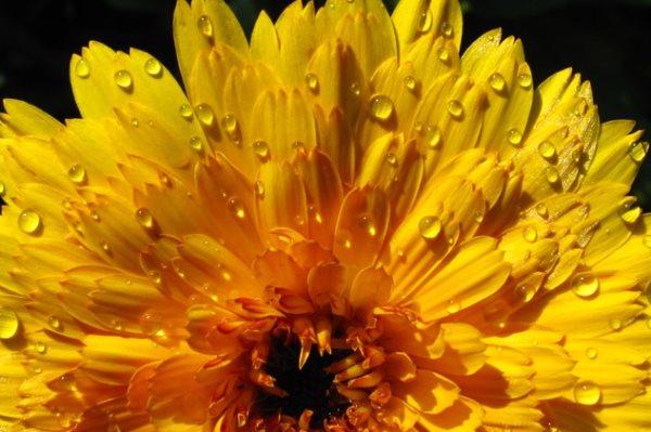 neven-cvijet