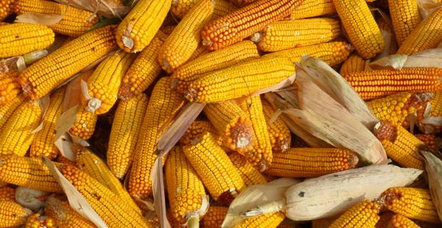 kukuruz-aflatoksin